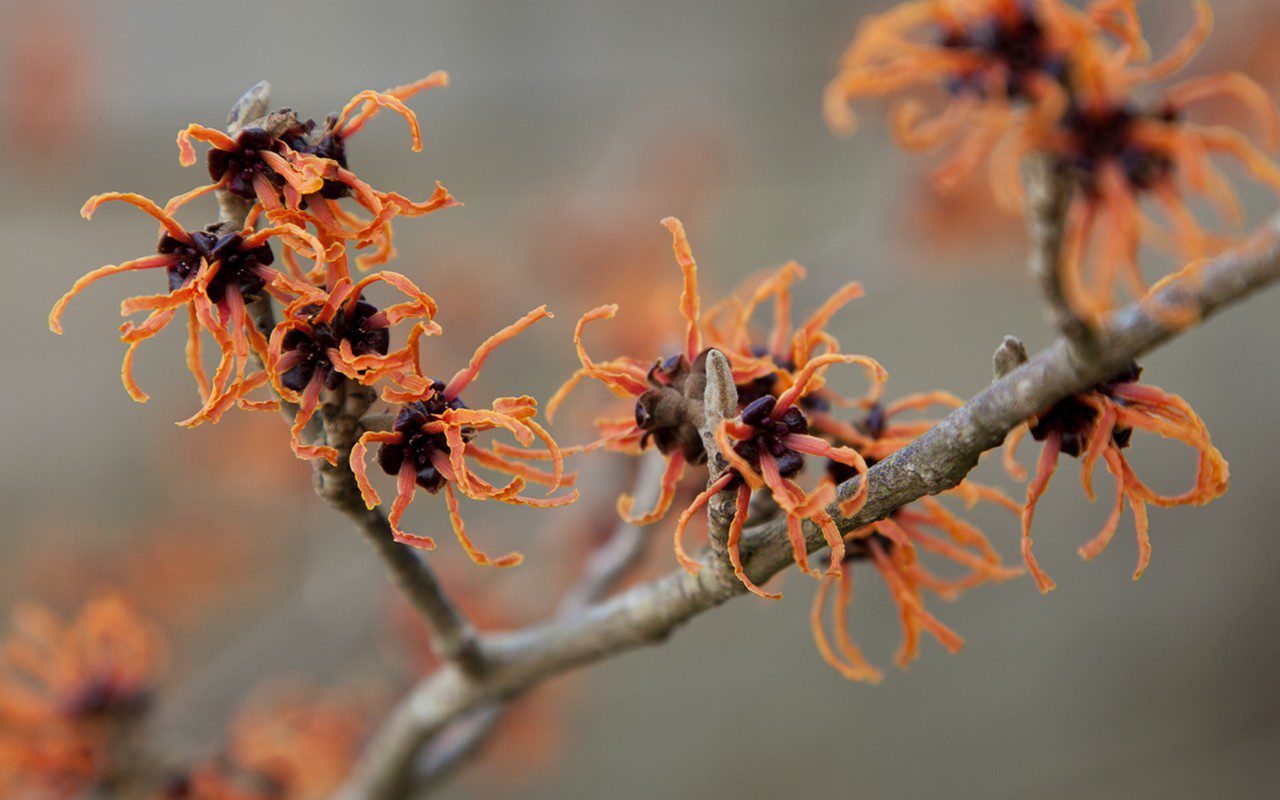 Hamamelis x intermedia 'Gingerbread'. Photo: Huw Morgan