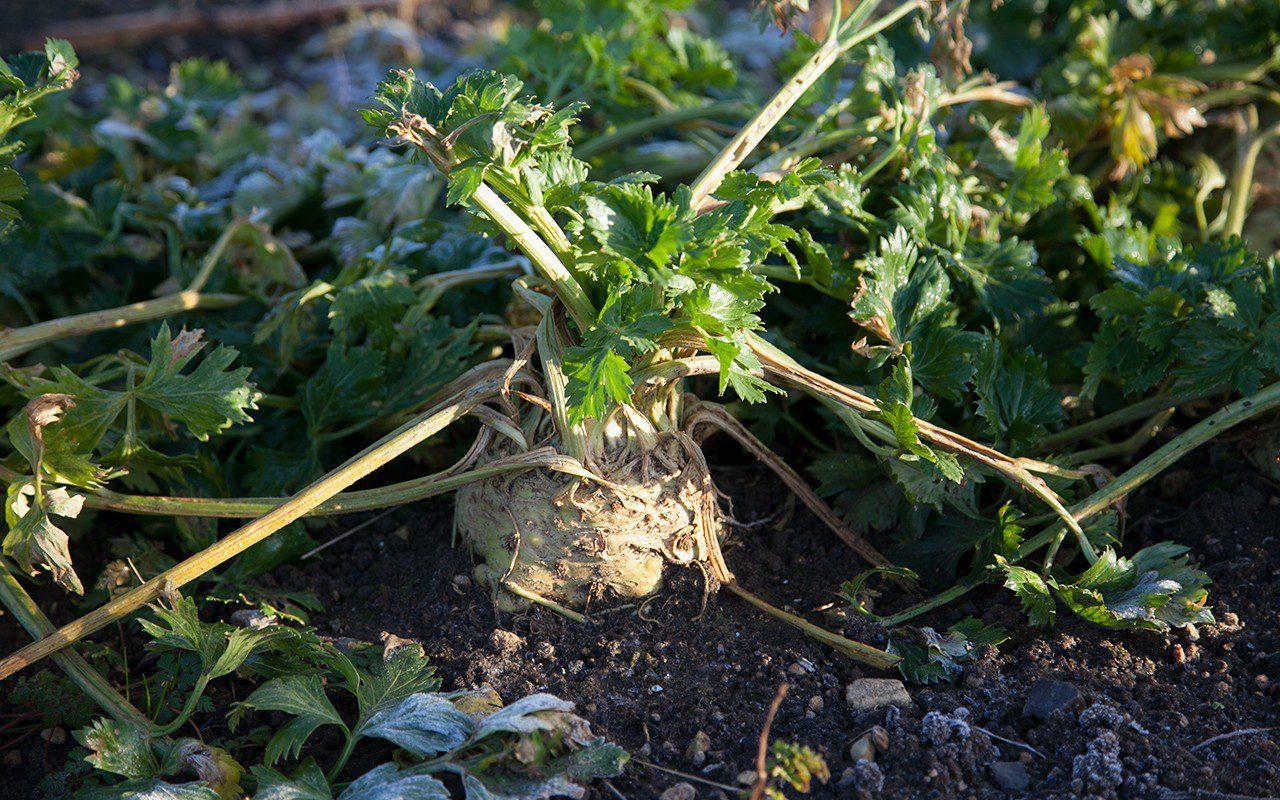 Celeriac 'Prinz'. Photograph by Huw Morgan