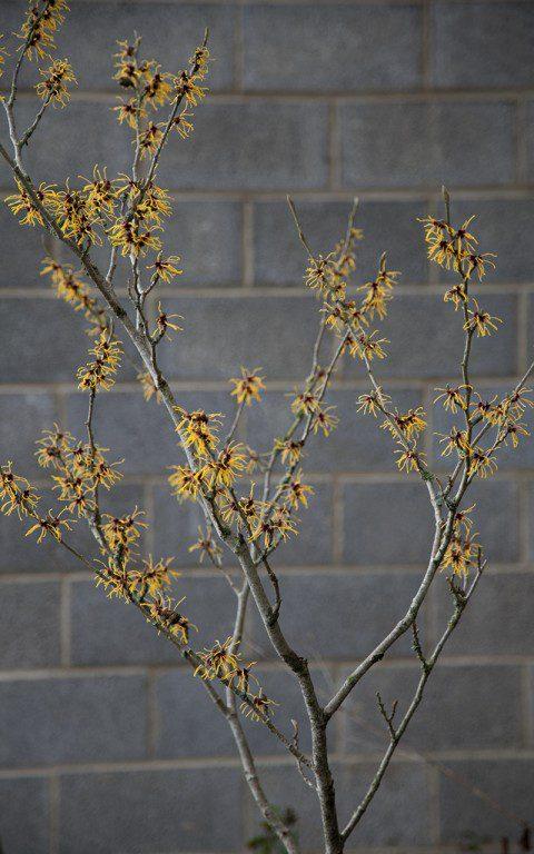 Hamamelis x intermedia 'Barmstedt Gold'. Photo: Huw Morgan