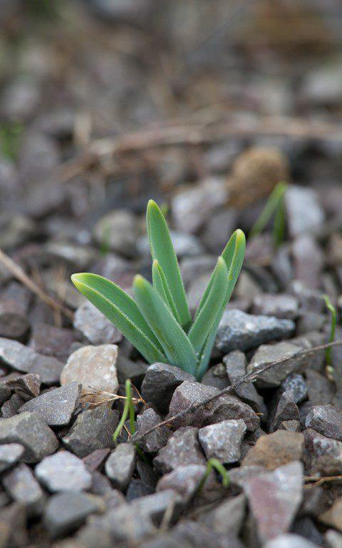 Allium christophii. Photo: Huw Morgan