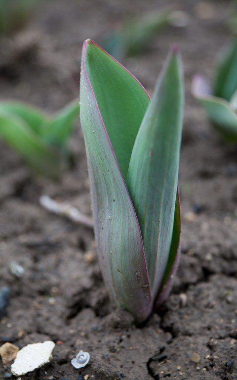 Tulip 'Apricot Impression'. Photo: Huw Morgan