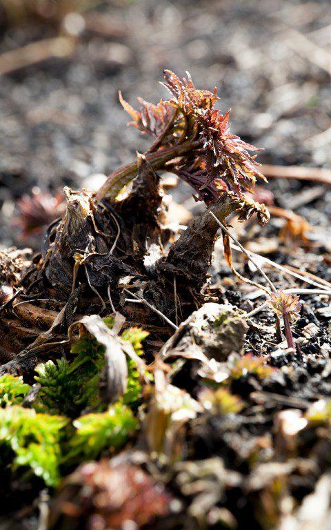 Angelica edulis. Photo: Huw Morgan