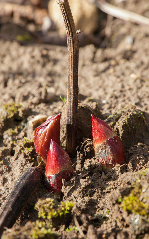 Paeonia mascula. Photo: Huw Morgan