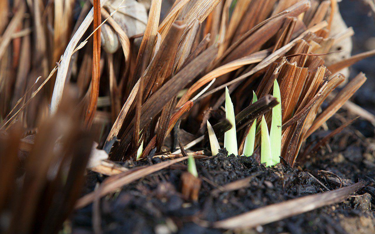 Iris sibirica 'Papillon'. Photo: Huw Morgan