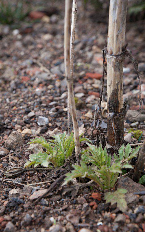 Patrinia scabiosifolia. Photo: Huw Morgan