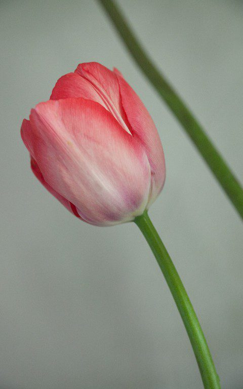 Tulipa 'Van Eijk'. Photograph: Huw Morgan