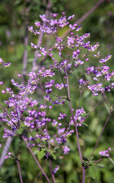 Thalictrum rochebruneanum. Photo: Huw Morgan