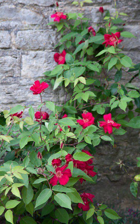 Rosa x odorata 'Bengal Crimson'. Photo: Huw Morgan