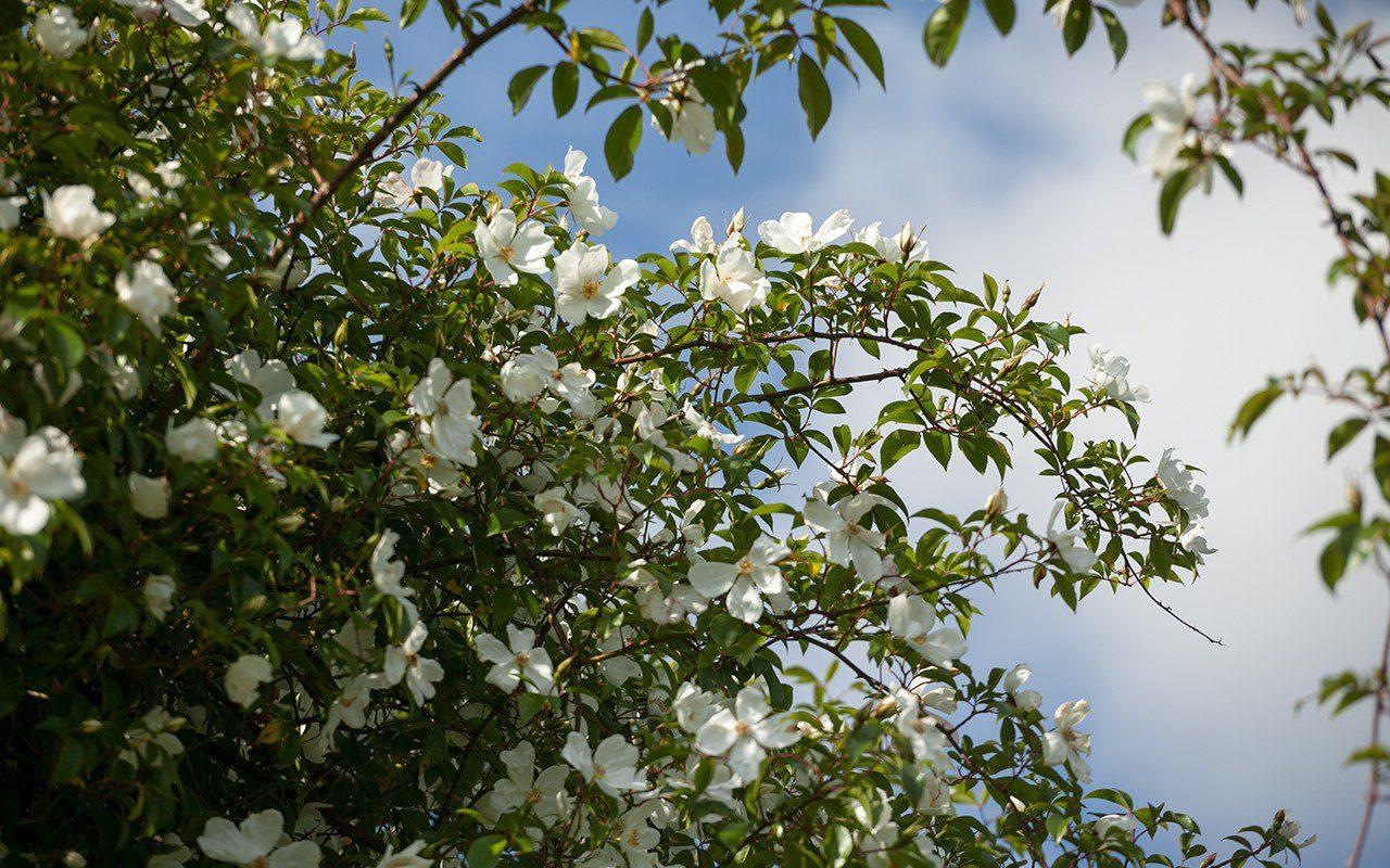 Rosa 'Cooperi' (Cooper's Burmese Rose) . Photo: Huw Morgan