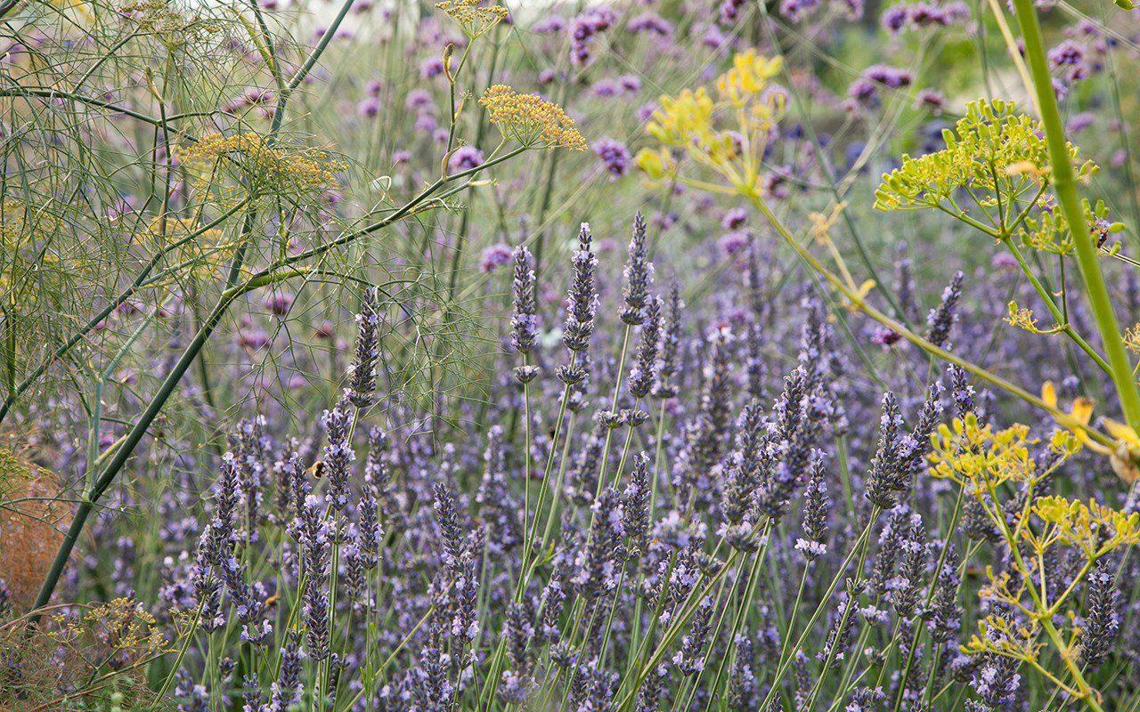 Lvandula x intermedia 'Grosso', Opopanax chironium and bronze fennel in the Herb Garden at Dan Pearson's Somerset property. Photo: Huw Morgan