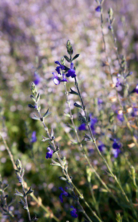 Salvia greggii 'Blue_Note'. Photo: Huw Morgan