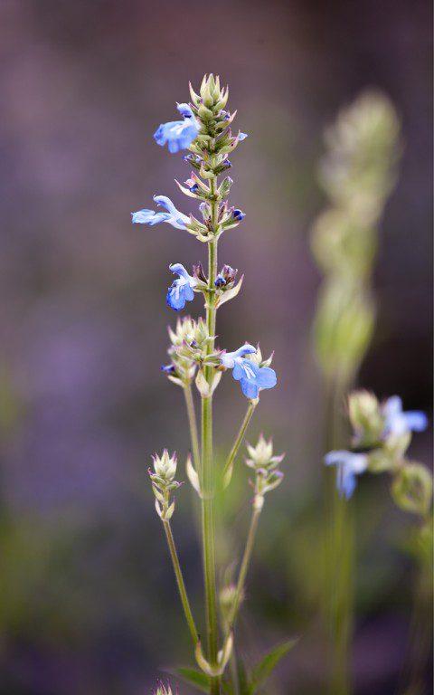Salvia uliginosa. Photo: Huw Morgan