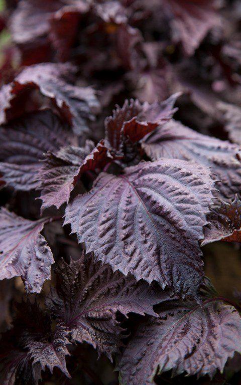 Purple Shiso - Perilla frutescens var. crispa. Photo: Huw Morgan