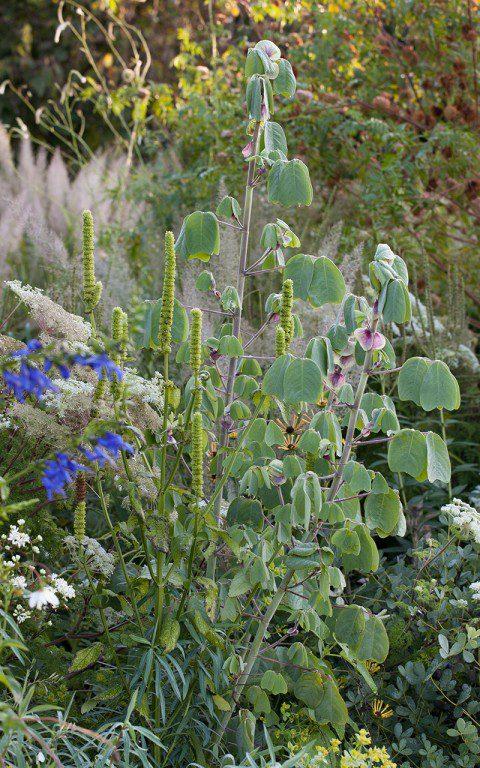 Amicia zygomera and Agastach nepetoides in Dan Pearson's garden. Photo: Huw Morgan