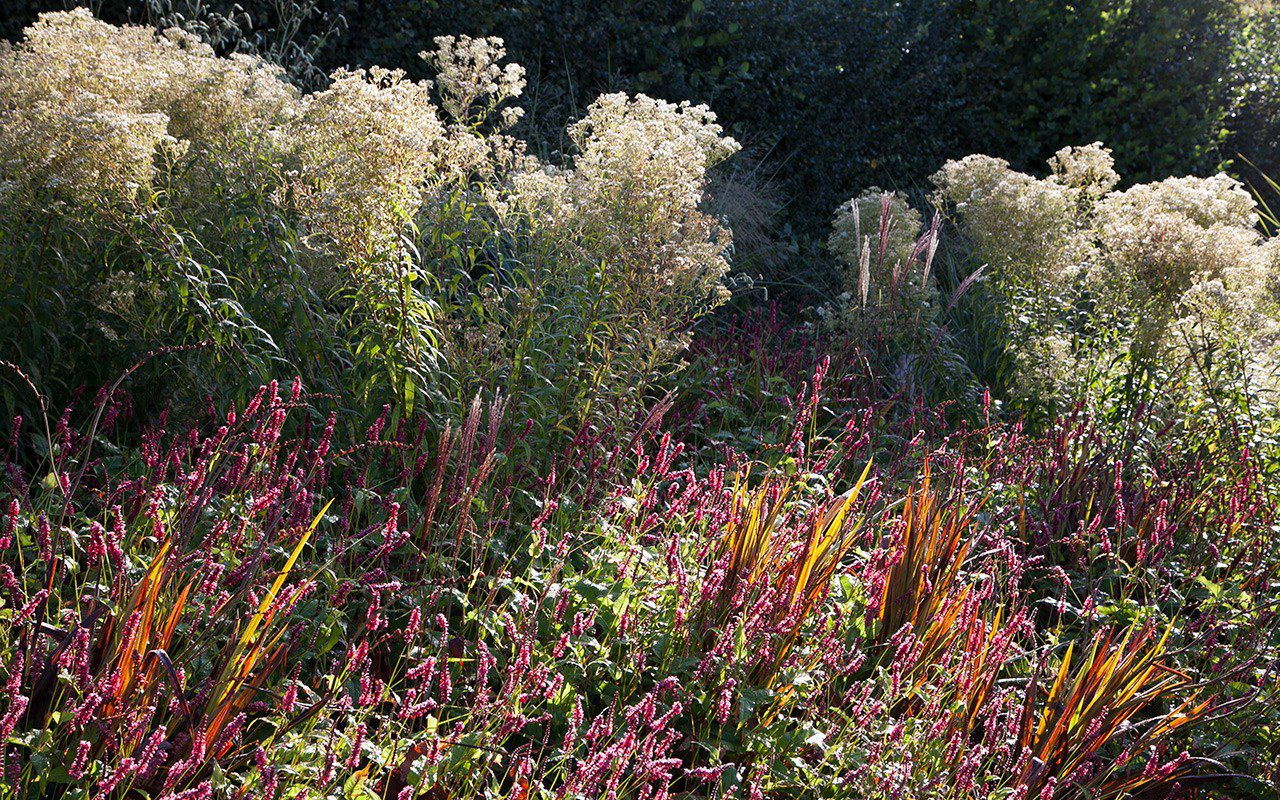 Aster umbellatus, Persicaria amplexicuale 'Backfield' and Salvia 'Jezebel'. Photo: Huw Morgan