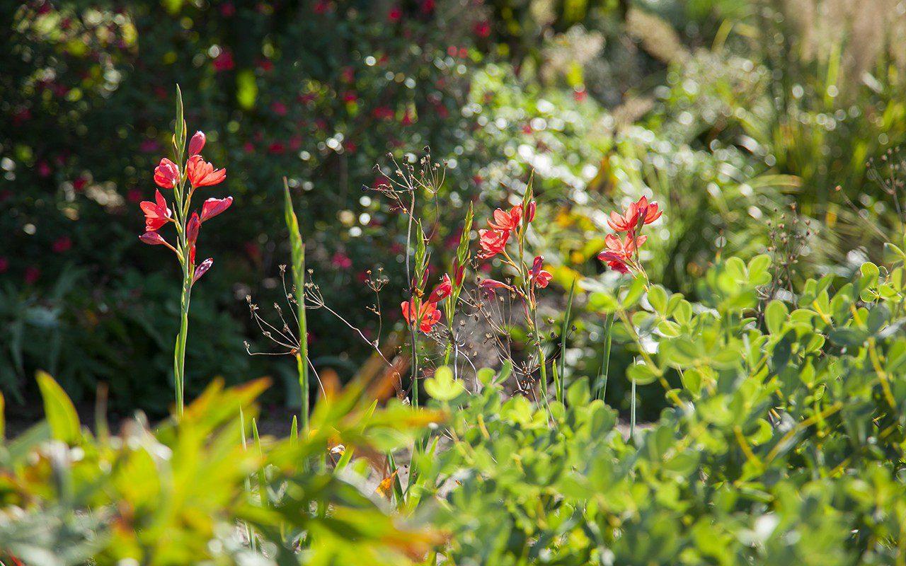 Hesperantha coccinea 'Major'. Photo: Huw Morgan