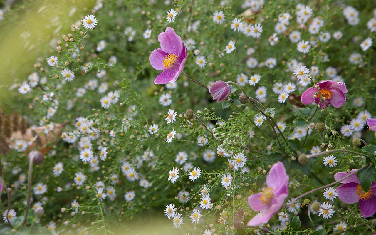 Anemone hupehensis 'Splendens' and aster ericoides 'Pink Cloud' in Dan Pearson's garden. Photo: Huw Morgan