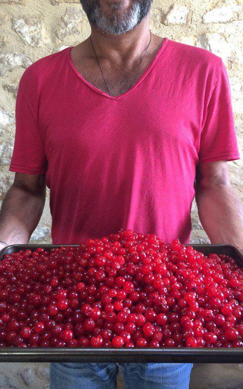 Redcurrant harvest. Photo: Huw Morgan