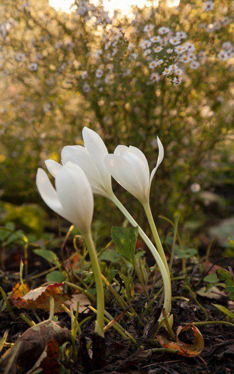 Colchicum speciosum 'Album'. Photo: Huw Morgan