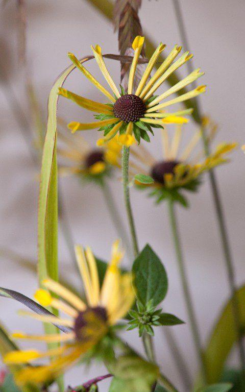Rudbeckia subtomentosa 'Little Henry'. Photo: Huw Morgan