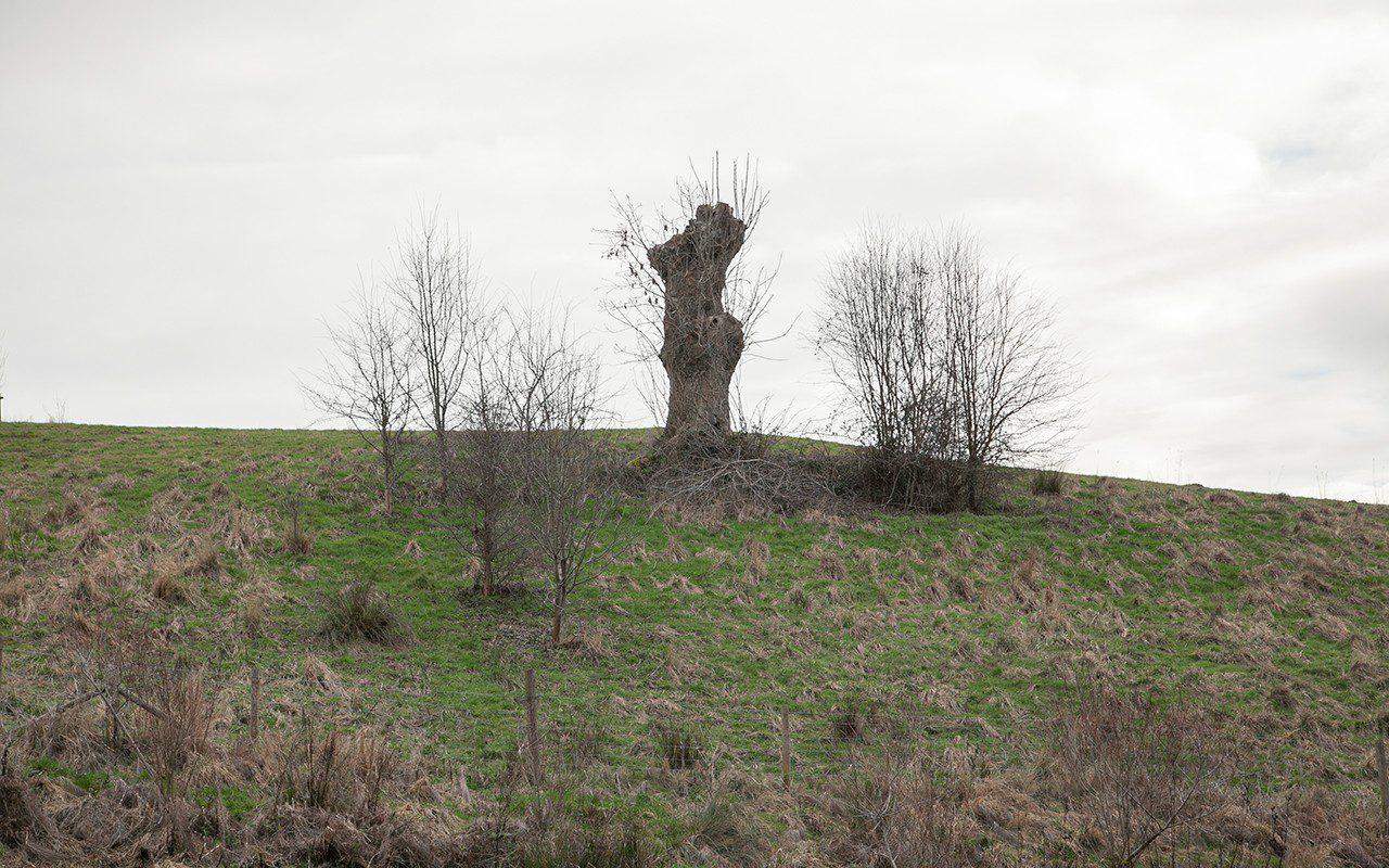 Old ash pollard on Dan Pearson's Somerset farm. Photo: Huw Morgan