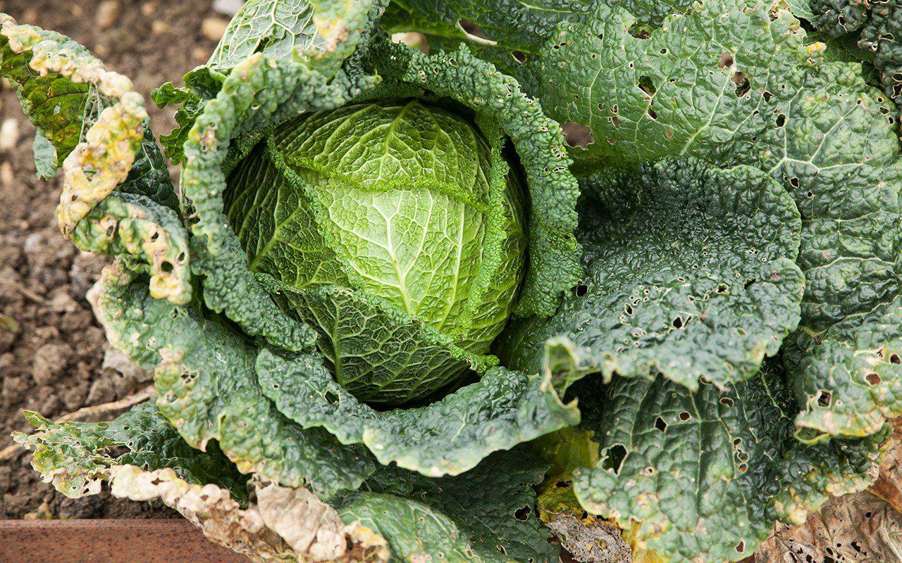 Savoy cabbage 'Marner Grufewi'. Photo: Huw Morgan